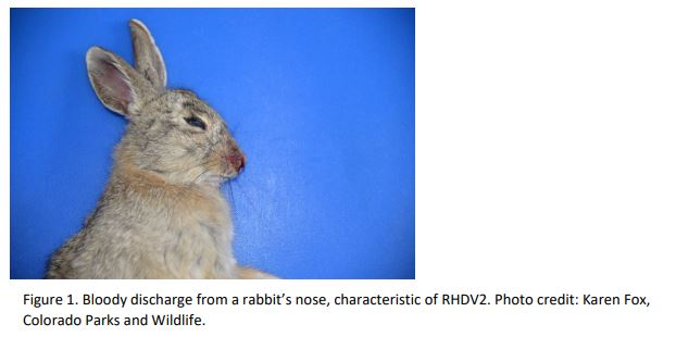 MDARD, DNR stress biosecurity to help protect Michigan's rabbits and hares from fatal disease